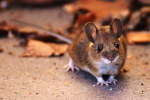 ネズミの血圧の変化を調べる実験